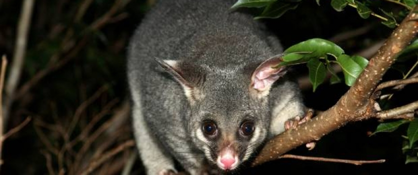 Living with Possums
